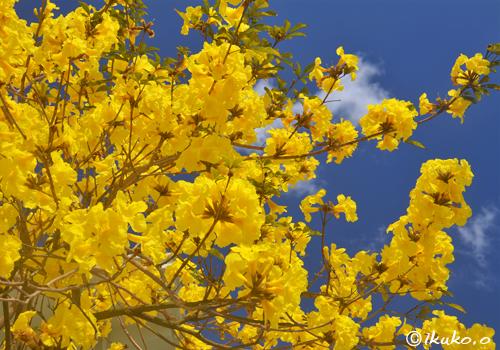 咲き乱れるイッペーの花