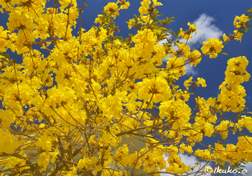 頭上から降り注ぐイッペーの花