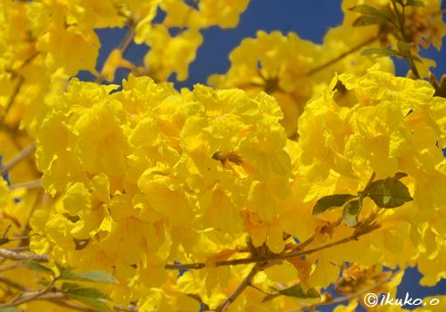 黄金色の花の塊