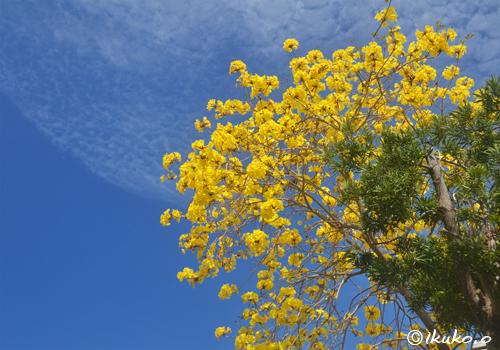 イッペーの大木と青空と雲
