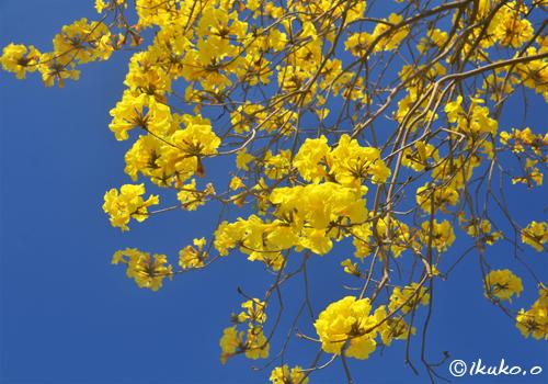 黄金色のイッペーと青空