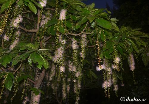 サガリバナの大木