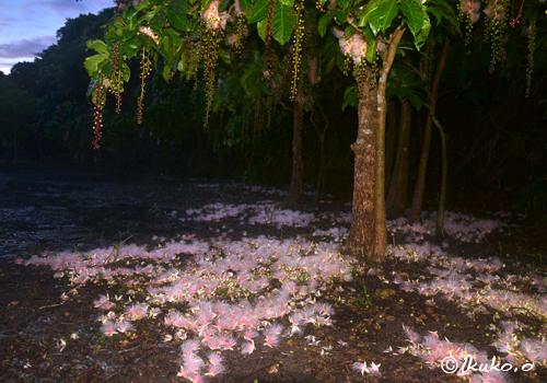 夜明けとともに散る花
