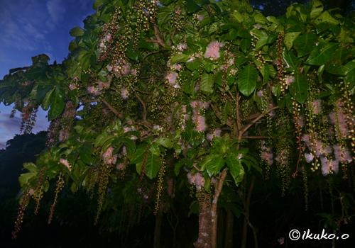 夜明けの空とサガリバナの大木