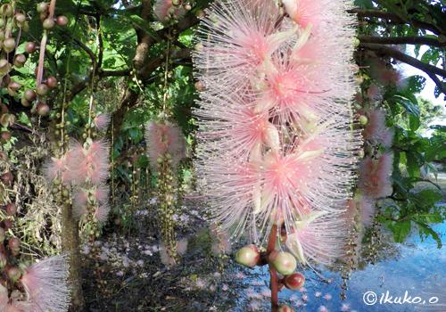 ピンクのサガリバナ
