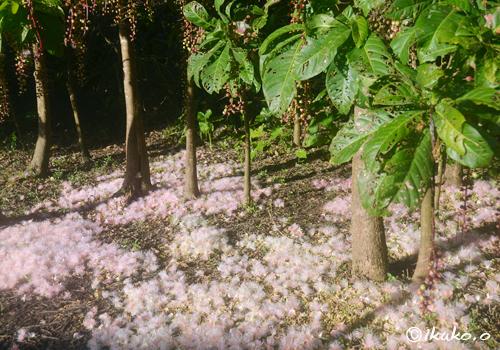 地面を覆うピンクの花