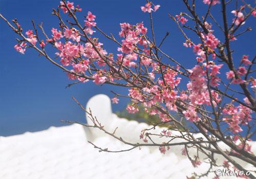 緋寒桜と古民家