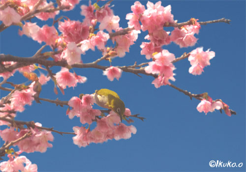 緋寒桜とメジロ