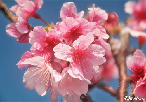 緋寒桜の花