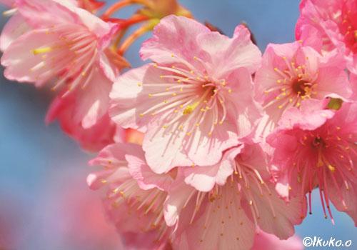 可憐な緋寒桜の花