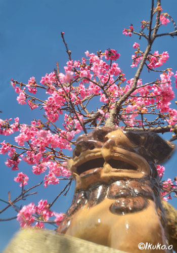 緋寒桜とシーサー