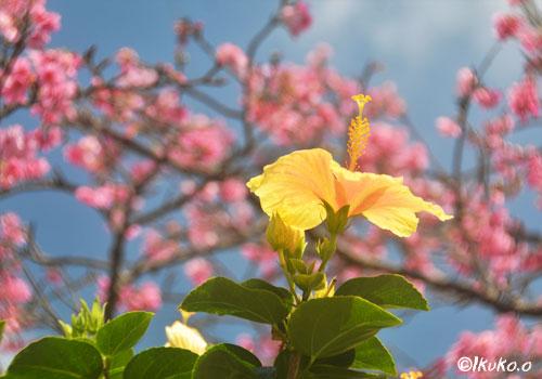 緋寒桜とハイビスカス