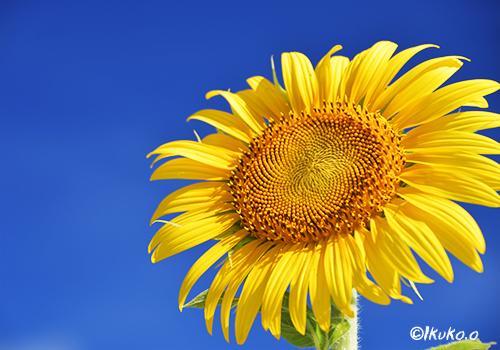 青空に映えるひまわりの花