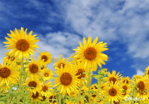 満開のひまわりの花