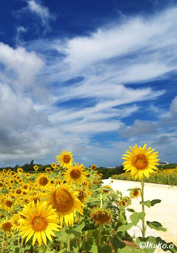 ひまわり畑と雲