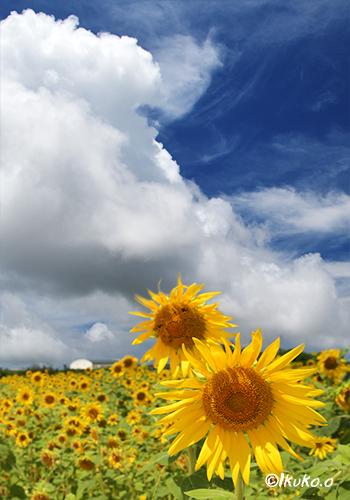 入道雲とひまわり畑