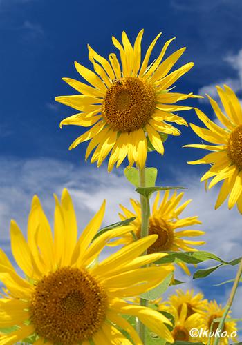 ひまわりの花