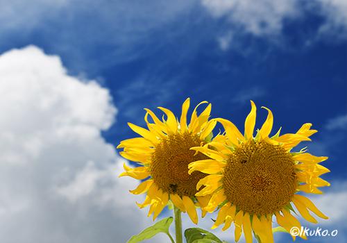 ひまわりの花と入道雲