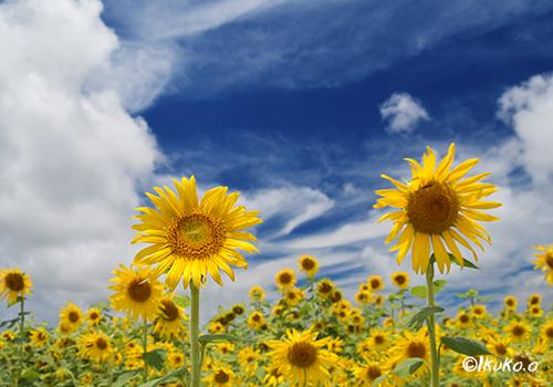 胸をはるひまわりの花