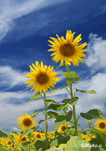空に向かって咲く向日葵