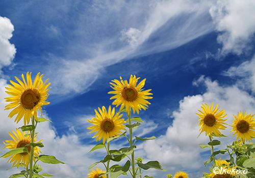 空に向かってのびる向日葵たち