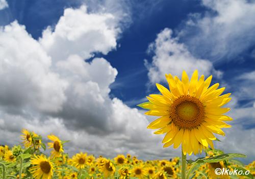入道雲とひまわりの花