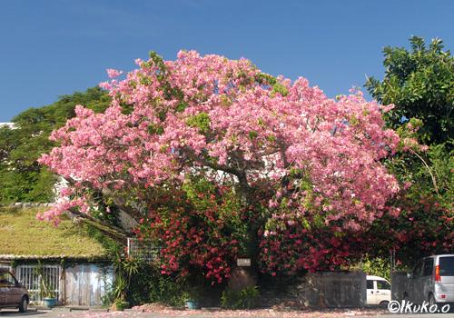 トックリキワタの大木