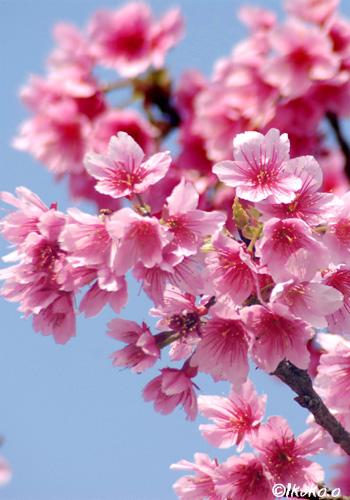 寒緋桜の花