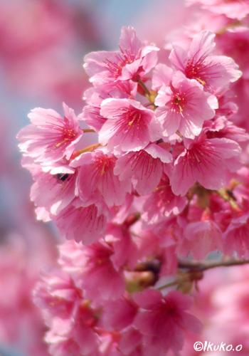 満開の寒緋桜