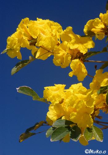 青空とイッペーの花