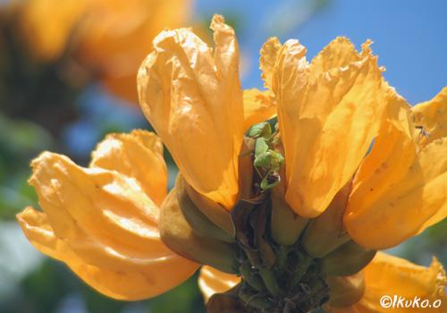 花にかくれるカマキリ