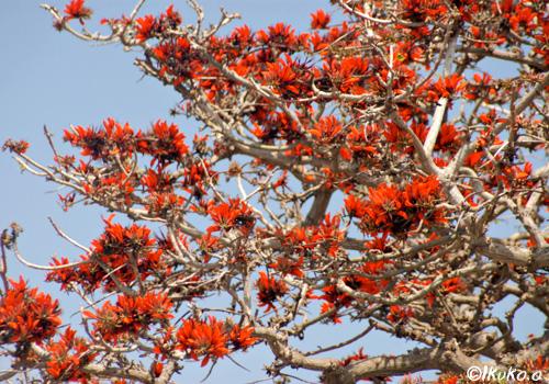 枝いっぱいに咲くデイゴ