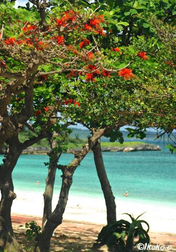 パイナガマビーチのデイゴ