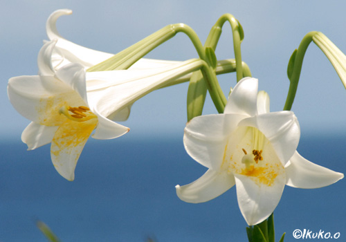 海辺の白い花