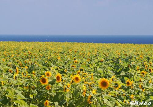 海とひまわり畑