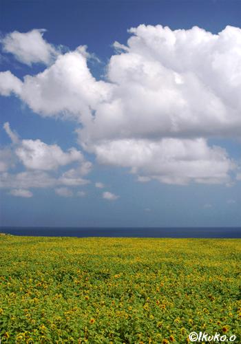ひまわり畑の上をゆく雲