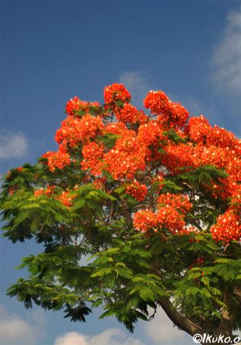八重咲きの大木