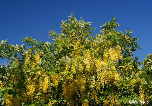 荷川取の大木