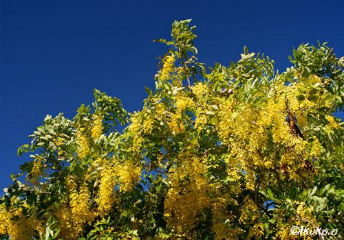 青空と金色の花