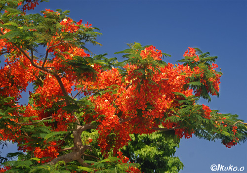 東仲宗根の大木