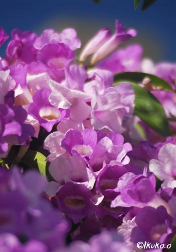 ニンニクカズラの花