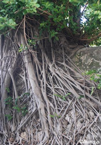 石垣にのびる根