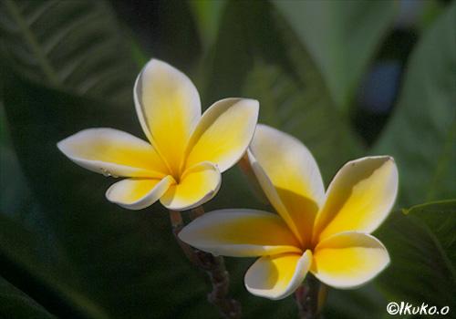タヒチの花