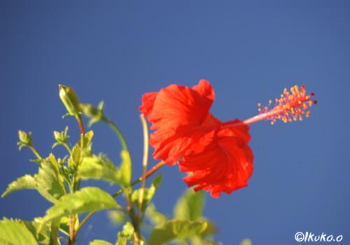 赤いハイビスカスと青い空