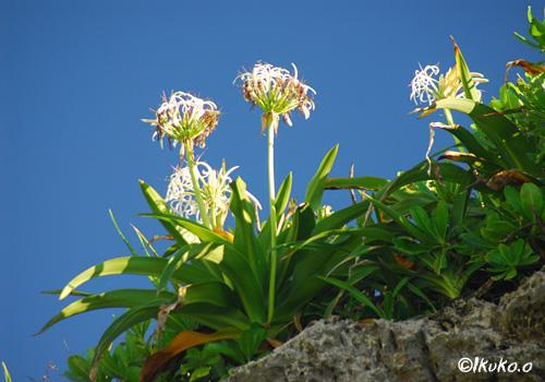 崖の上に咲くハマユウ