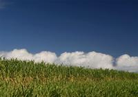 秋のさとうきび畑