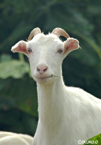 微笑むヤギ