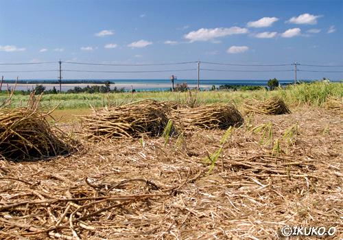 収穫時期の畑