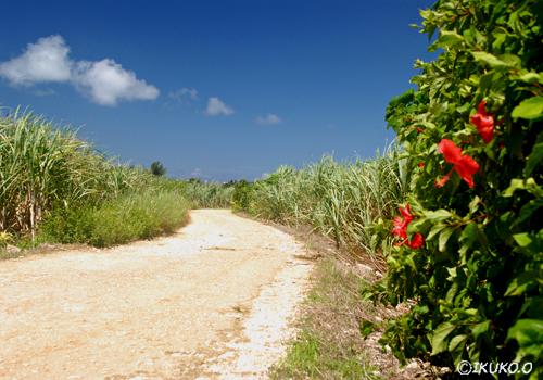 ハイビスカスの咲く畑