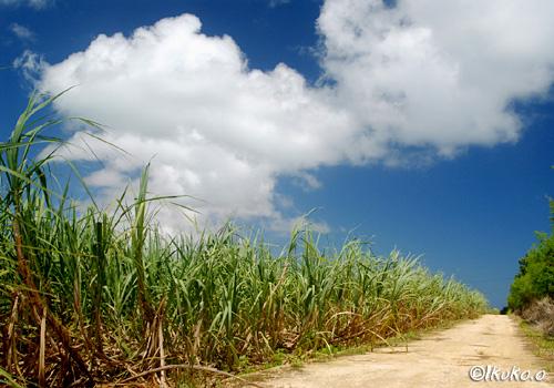 久松のさとうきび畑